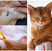 Опасны ли клещи для кошек
