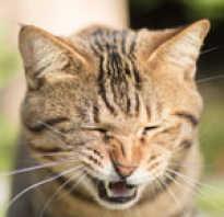 Почему кошка чихает