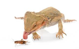 Что едят ящерицы