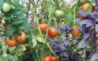 Что можно посадить рядом с помидорами