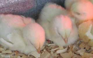 Заболевания цыплят