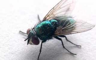 Сколько ног у мухи