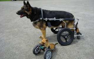 Как лечить паралич у собак
