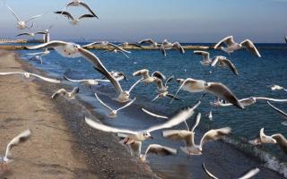 Почему кричат чайки
