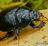 Кто такой навозный жук