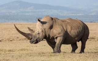 Что едят носороги