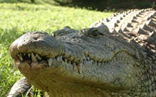 Что ест крокодил