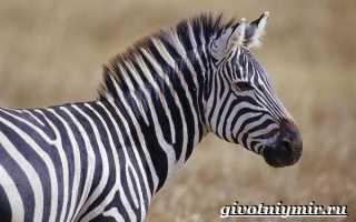 Где обитает зебра