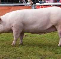 Сколько весит свинья