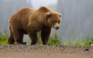 Где живет бурый медведь