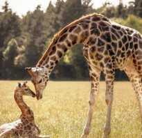 Где живут жирафы