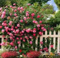 Как правильно посадить розу плетистую