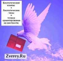 Откуда почтовые голуби знают куда лететь
