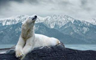 Охотятся ли белые медведи на пингвинов