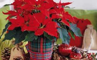Как цветет рождественская звезда фото
