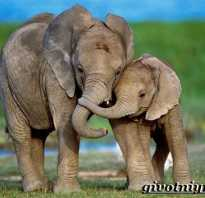 Где обитают слоны