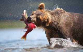 Что ест медведь