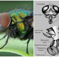 Память у мухи сколько