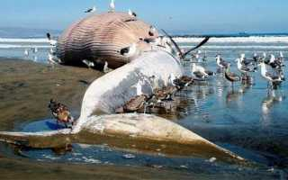 Почему киты выбрасываются на берег