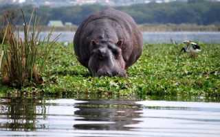 Что едят бегемоты