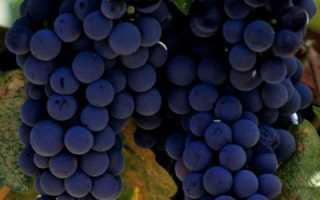 Обладает ли виноград мочегонным эффектом
