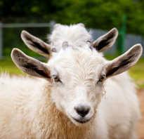 Что означает коза во сне