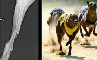 К какому виду спорта относится собачьи бега